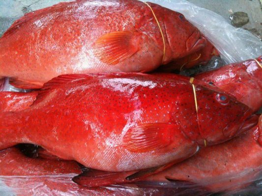 Cá mú đỏ Phú Quý